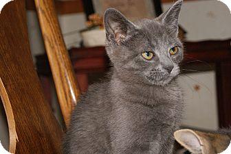Russian Blue Kitten for adoption in Trevose, Pennsylvania - Balu