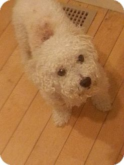 Bichon Frise Dog for adoption in Manchester, Connecticut - Snowball in CT