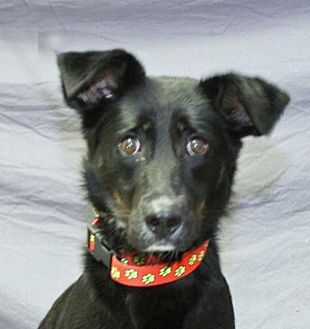 Border Collie/Shepherd (Unknown Type) Mix Dog for adoption in Modesto, California - Cali