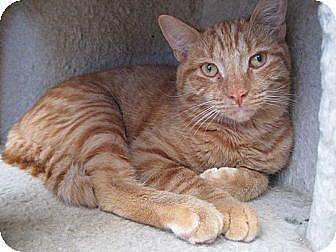 Domestic Shorthair Cat for adoption in Sherman Oaks, California - Aaron