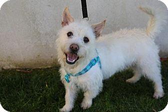 Westie, West Highland White Terrier Mix Dog for adoption in Los Angeles, California - Gordon