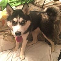 Adopt A Pet :: Athena- ADOPTED - Livonia, MI