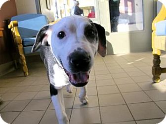 American Pit Bull Terrier Mix Dog for adoption in Jackson, Michigan - Leo