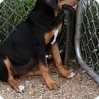 Labrador Retriever/Black and Tan Coonhound Mix Puppy for adoption in Staunton, Virginia - Lea