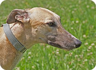 Greyhound Dog for adoption in Portland, Oregon - Secret