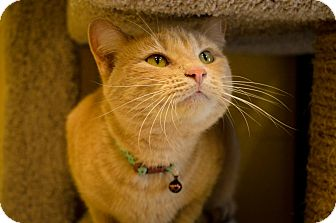 Domestic Shorthair Cat for adoption in Pittsburg, Kansas - George