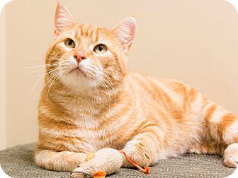 Domestic Shorthair Cat for adoption in Chicago, Illinois - Orange Julius