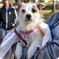 Adopt A Pet :: Gidget - ADOPTION PENDING!! - Arlington, VA