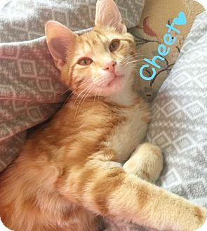 Domestic Shorthair Kitten for adoption in York, Pennsylvania - Cheeto (Video)