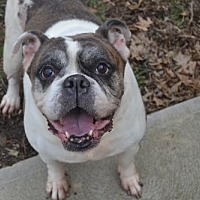English Bulldog Dog for adoption in Lakewood, Ohio - Jada