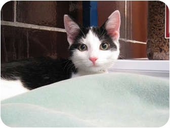 Domestic Shorthair Kitten for adoption in Centerburg, Ohio - Sonic