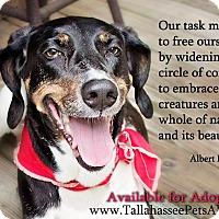 Adopt A Pet :: Scarlett - Tallahassee, FL