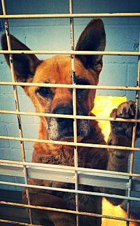 Shepherd (Unknown Type) Mix Dog for adoption in Odessa, Texas - Sig