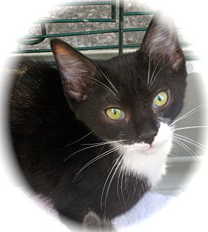 Domestic Shorthair Kitten for adoption in Newtown, Connecticut - Marble
