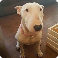Adopt A Pet :: Ariel - Houston, TX