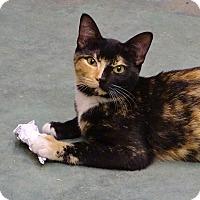 Calico Cat for adoption in Port St. Joe, Florida - Angelina