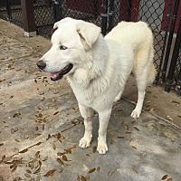 Adopt A Pet :: Spirit - Austin, TX