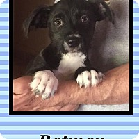 Adopt A Pet :: Batman - Scottsdale, AZ