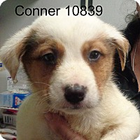 Adopt A Pet :: Conner - Greencastle, NC