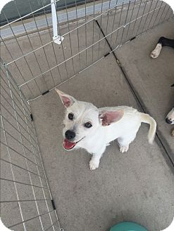 Terrier (Unknown Type, Small) Mix Puppy for adoption in San Angelo, Texas - Tucker