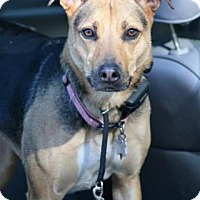 German Shepherd Dog Mix Dog for adoption in Mt. Airy, Maryland - Abby