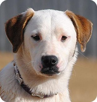 American Bulldog/Labrador Retriever Mix Dog for adoption in Cedartown, Georgia - Ginger