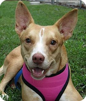 Terrier (Unknown Type, Small)/Carolina Dog Mix Dog for adoption in Barnegat, New Jersey - Catalina