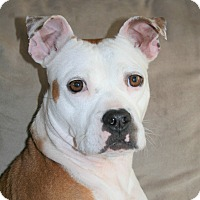 Boxer/Boston Terrier Mix Dog for adoption in Memphis, Tennessee - LILY