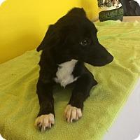 Adopt A Pet :: Charlie - Richland Hills, TX