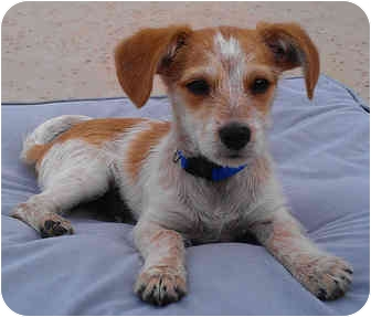 Jack Russell Terrier/Dachshund Mix Puppy for adoption in Phoenix, Arizona - CHIP
