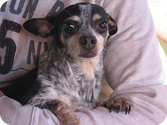 Chihuahua Mix Dog for adoption in Greenville, Rhode Island - Donna