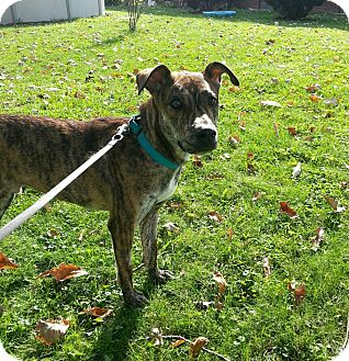 Australian Cattle Dog Mix Dog for adoption in Youngstown, Ohio - Skeeball ~ Adoption Pending