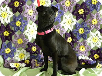 Miniature Pinscher/Pug Mix Dog for adoption in Princeton, Kentucky - Grace