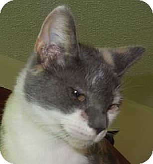 Calico Cat for adoption in Jacksonville, North Carolina - Pauline