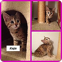 Adopt A Pet :: Raja - Miami, FL