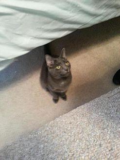 Domestic Shorthair Cat for adoption in Greer, South Carolina - JohnSnow