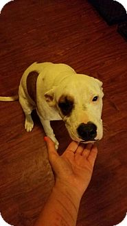 American Staffordshire Terrier Mix Dog for adoption in Crosby, Texas - Patches
