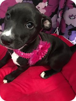 Labrador Retriever Mix Puppy for adoption in East Windsor, Connecticut - Carley-ADOPTION PENDING