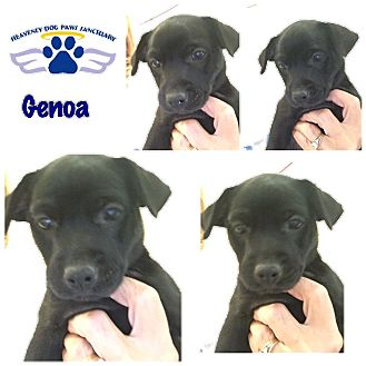 Terrier (Unknown Type, Small) Mix Puppy for adoption in Folsom, Louisiana - Genoa