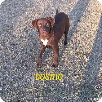 Labrador Retriever Mix Dog for adoption in Snyder, Texas - Cosmo