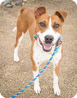 American Pit Bull Terrier/Cattle Dog Mix Dog for adoption in Phoenix, Arizona - Johnny