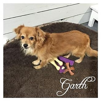 Pomeranian/Chihuahua Mix Dog for adoption in Hope, British Columbia - Garth