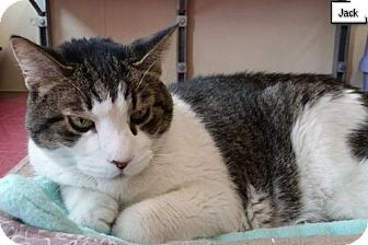 Domestic Shorthair Cat for adoption in Lakewood, Colorado - Jack