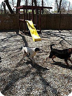 Pointer Mix Dog for adoption in Overland Park, Kansas - Bandit the pointer