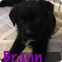 Adopt A Pet :: Brann - Detroit, MI