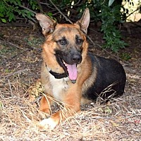 German Shepherd Dog Dog for adoption in San Diego, California - Gage