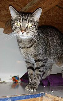 Domestic Shorthair Cat for adoption in St. Louis, Missouri - Jojo