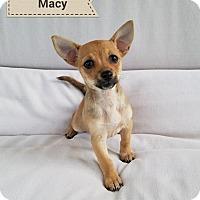 Adopt A Pet :: Macy - Thousand Oaks, CA