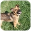 Photo 1 - German Shepherd Dog/Border Collie Mix Dog for adoption in Westfield, Indiana - Timmy
