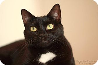Domestic Shorthair Cat for adoption in Huntington Station, New York - MARNIE